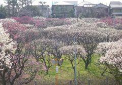 千葉県習志野市にある梅林園は知る人ぞ知る梅の名所です 敷地内には訳本もの梅が植えられていて春先にはほのかな香りを漂わせます 決して規模は大きくないですがお弁当を持ってピクニック気分で楽しむのにはピッタリのスポットです() 住宅街の中にあるのでちょっと分かりにくいけどぜひ行ってみてくださいね tags[千葉県]