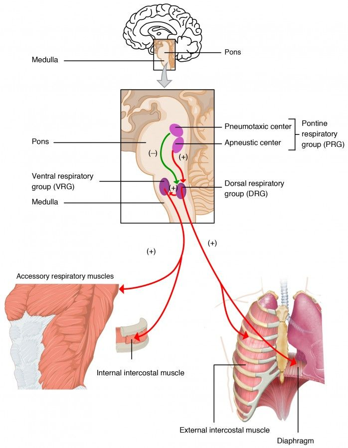 Respiratory Physiology Airways Lung Volume Pulmonary Gas Exchange