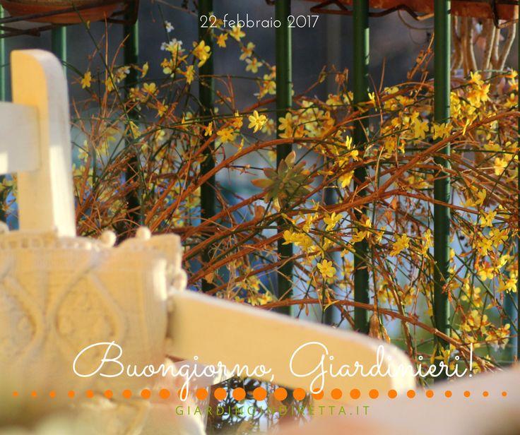 Gelsomino d'inverno (Jasminum Nudiflorum) - nuovi acquisti e fiori dorati d'inverno - un giardino in diretta