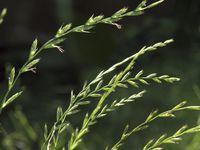 Odvar z oddenku pýru, léčivého plevele, pročistí celé tělo