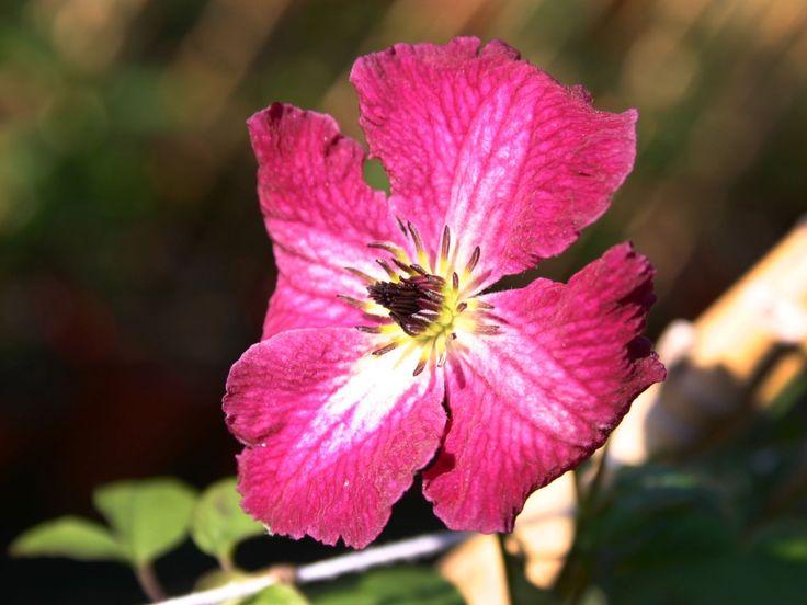 Clematis 'Rubra' - Clematis viticella 'Rubra'
