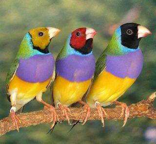 Gouldian Finch - Of all the Australian grass the Gouldian Finch is the most striking. it lives in large flocks in the north of Australia on open grassy plains with scattered tall trees near sources of permanent water. Gouldian finches avoid human habitation. (ref: Reader's Digest Complete Book of Australian Birds).