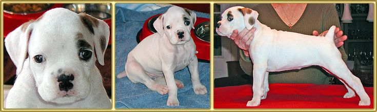 Pro C Boxers: Show quality Boxer Breeders