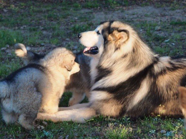 Alaskan Malamute Dog Breed History Facts Information Summary