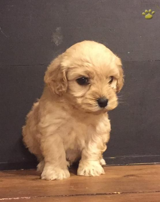 Lassie - Cockapoo Puppy for Sale in Lewistown, PA | Lancaster Puppies