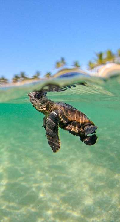 It can be a struggle out in the big wide world but you can do it! (Loggerhead Sea Turtle, Florida. Photograph by Ben Hicks.)