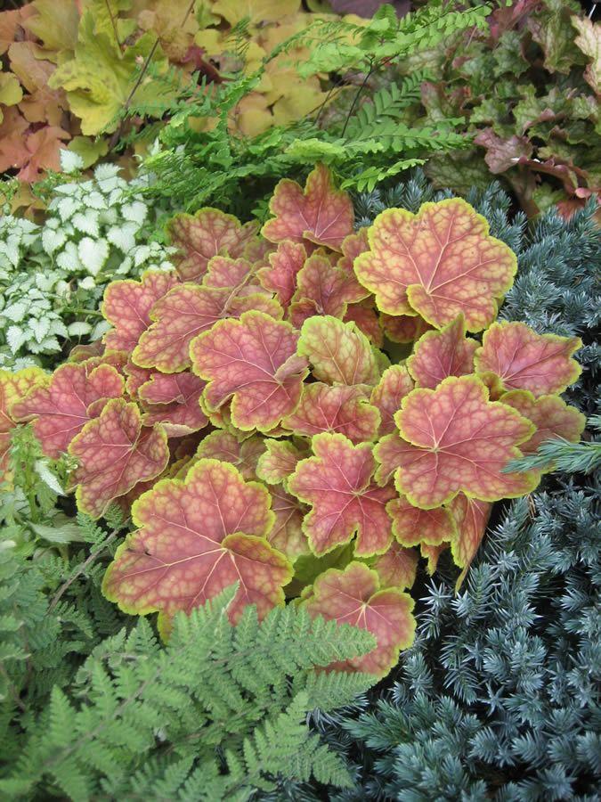 Coral Bells - Heuchera Tiramisu | Gardens and Plants ...
