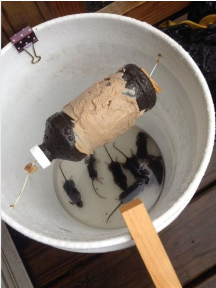A better mouse trap! I haven't tried it and I wouldn't put water in the bottom to drown them. But it looks like it would work.