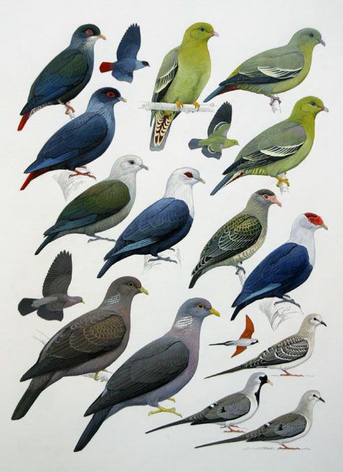 Blue, Green and Comoro Olive pigeons and Namqua Dove.