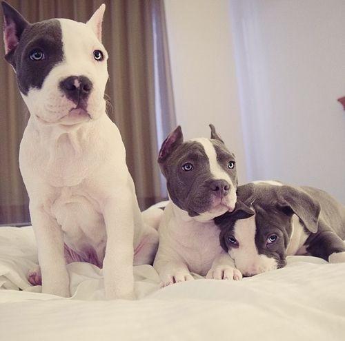 American Pit Bull Terrier Puppy Dog #pitbull #staffie