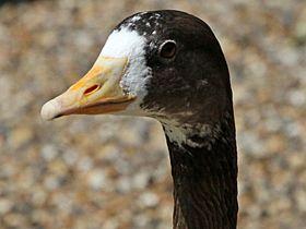 White-fronted Goose x Bar-headed Goose, St James's Park, 15-Jul-13