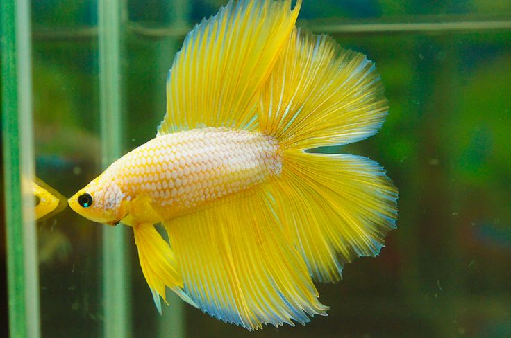 Tropical Island Beach Ambience Sound: 41 Best Images About Double Tail Bettas On Pinterest