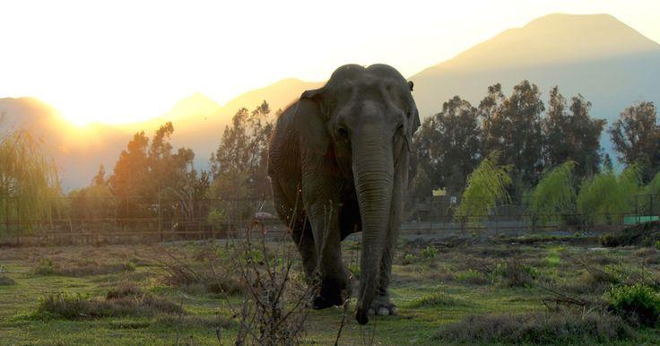 Elefanta do Chile deve ser levada para santuário em MT em março, diz ONG