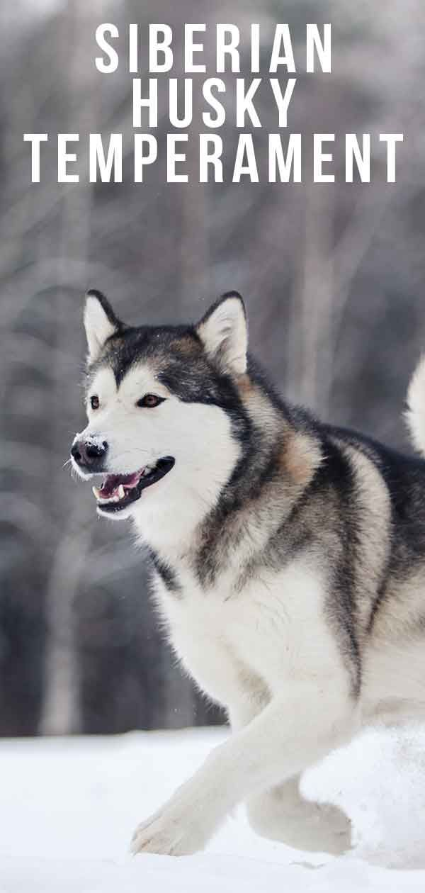 Siberian Husky Temperament Is This Majestic Breed Right For You