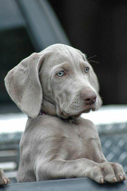 Silver Weimaraner puppy! | D O G | Pinterest | Coats ...