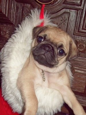 Of all the breeds we know, the pug arguably has the most unique and characterful face. His flat muzzle, large eyes and folded ears make for a quirky, loveable expression. Sadly, pugs are prone to a number of eye problems arising from the size and shape of their eyes.