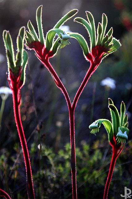 Kangaroo Paw Flower.  #yoga  More inspiration at:  http://www.valenciamindfulnessretreat.org