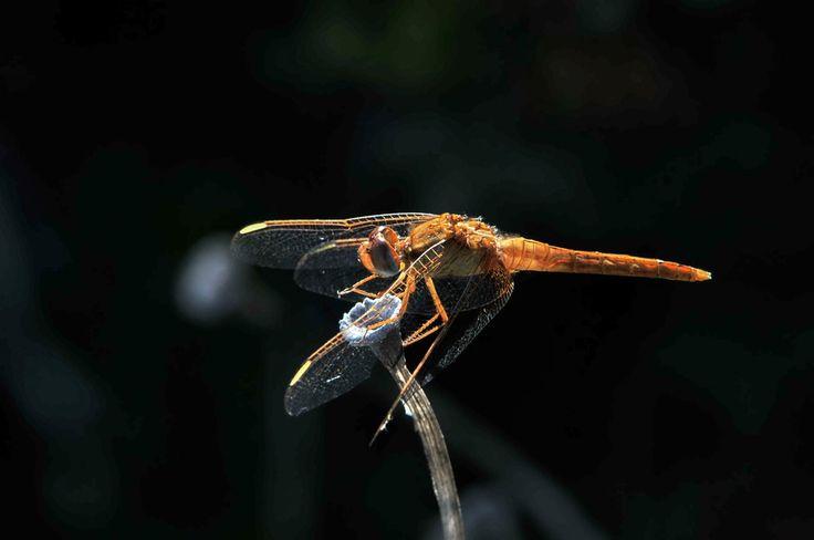 Seconda libellula nel deserto del Sinis