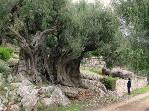 Wonderful olive tree in Greece