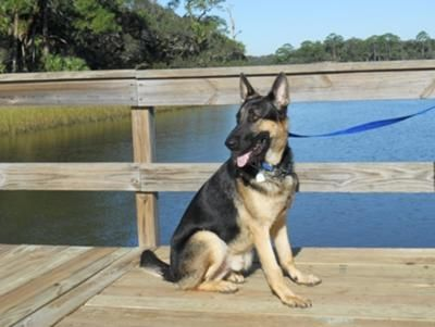German Shepherd Fritz, Our New GSD Rescue