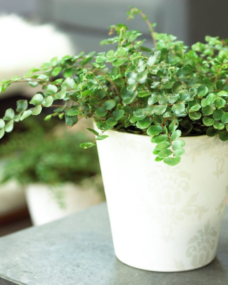 Button fern • Pellaea rotundifolia • Roundleaf Fern • Plants & Flowers • 99Roots.com