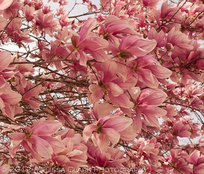 "Magnolia soulangiana, ""saucer magnolia""....comes out in spring with gorgeous thick flourish of pink beauty"