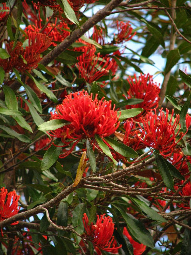 Queensland Tree Waratah (Alloxylon flammeum) Qld native. Med. sized tree with lobed juvenile leaves and entire, oblanceolate adult leaves to 18cm. Flowers are borne near the end of spring.