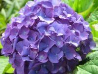 Hydrangea! I ♥U!: Colors Combos, Blue Hydrangeas, Hydrangeas Wedding Flowers, Hydrangeas Flowers, Flowers Power, Dark Purple, Purple Hydrangeas Wedding, Hydrangea Wedding Flowers, Close Up