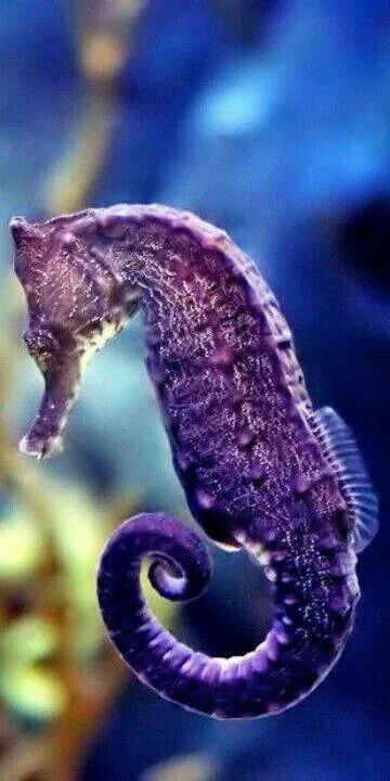 Purple sea horse