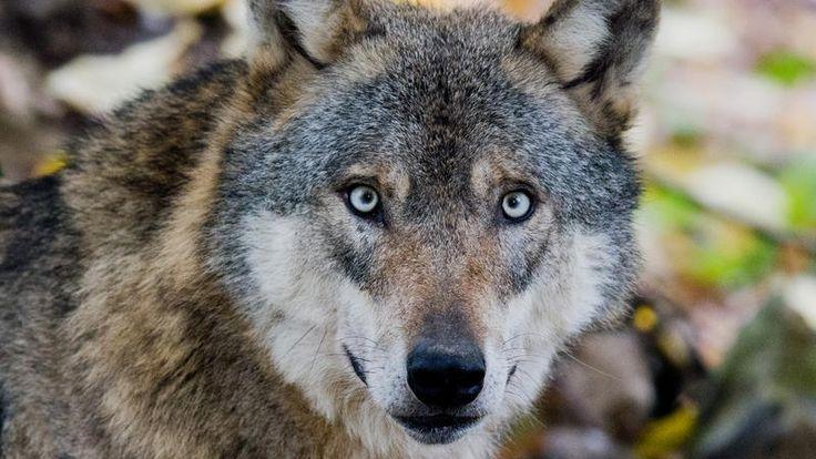 Ein Wolf schaut einen mit seinen blassblauen Augen direkt an