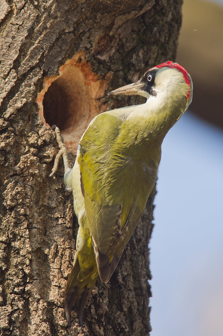 Should have gone to Ikea - Green Woodpecker