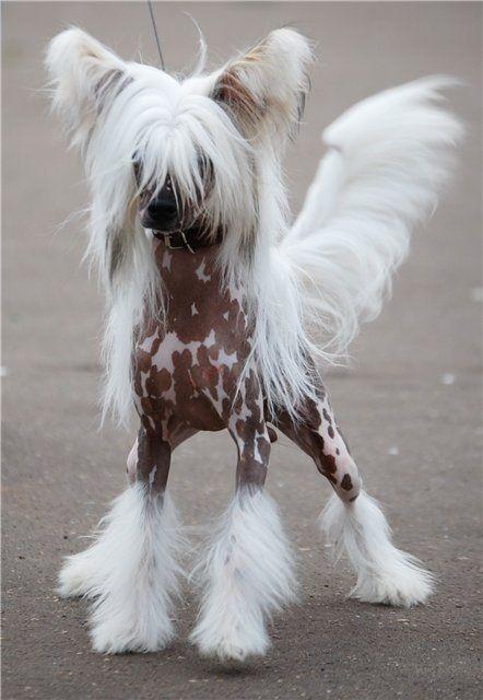 Китайская хохлатая собака Собаки этой породы могут быть, как безволосыми — голые особи (волосы имеются только в области головы, хвоста и на конечностях), так и с мягкими вуалеобразными волосами, покрывающими всё тело — пуховки (паудерпуфф). Они не имеют запаха и не линяют (за исключением пуховых).