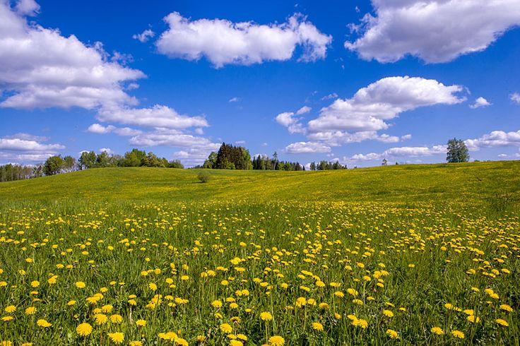 Võilillenurm.  Otepää Upland, Estonia