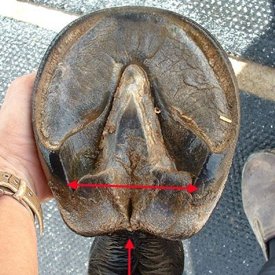 Quick Reference Guide: What is Hoof Contraction? | Hooves