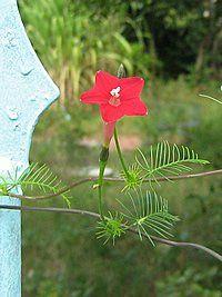 Ipomoea quamoclit, Boa-tarde, Campainha, Campainha-vermelha, Cardeal, Cipó-esqueleto, Corda-de-viola, Corriola, Flor-de-cardeal, Primavera, Primavera-grande, Prímula (Plantas para atrair borboletas e beija-flores no jardim) AM.SUL