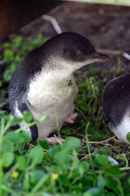 """""""Fairy penguin 5"""" by marcusfrieze on Flickr - The fairy penguin is the smallest penguin in the world and is native to the cold southern coasts of Victoria and Tasmania. Every night fairy penguins crawl along the beach at Phillip Island in order to return to their nest - this phenomenon is called the Penguin Parade."""