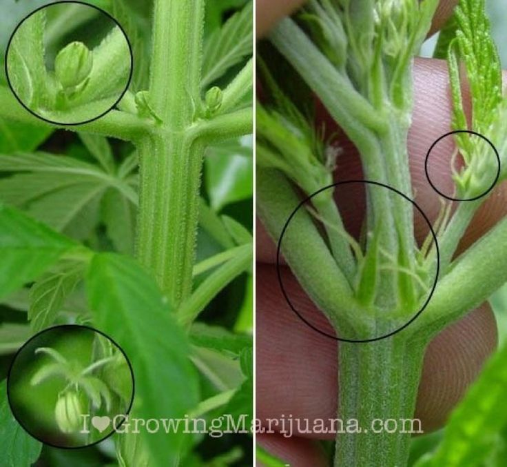 marijuana influence on males' reproducing system The male pollen sacs can develop even after full flowering has begun for more information on identifying male kill any males or hermies as soon as you identify them this will prevent pollination of your females so how to grow marijuana forum - growing marijuana indoors & hydroponics.