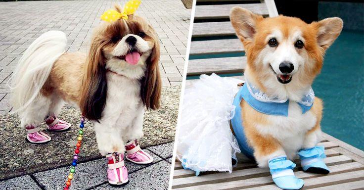 Fotos divertidas de perros usando zapatos diseñados para proteger las patas de lesiones causadas por temperaturas extremas, piedras filosas o insectos.