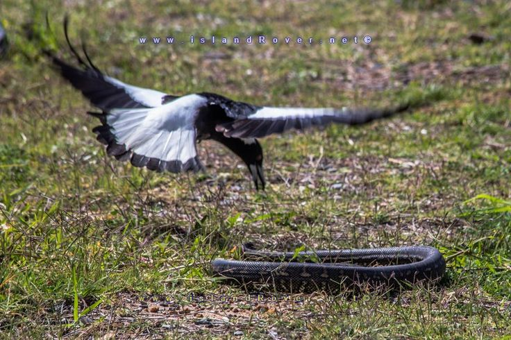 Magpie vs Brown snake I happened to seethis fight between the Magpie and the brown snake.