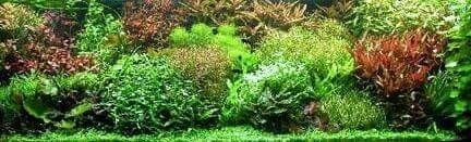 Carpet aquarium plants http://stores.ebay.co.uk/Live-Aquarium-Pond-Plants-Shop/