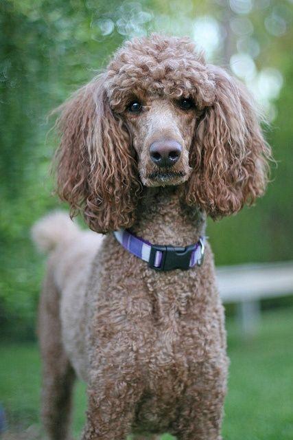 1000+ images about Standard Poodles on Pinterest ...  1000+ images ab...