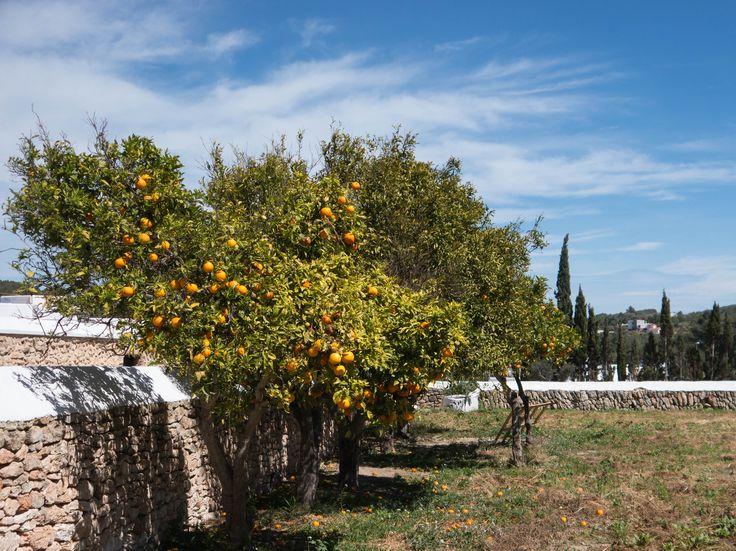 Orangenbäume hinter einer Mauer im Hintergrund Zypressen