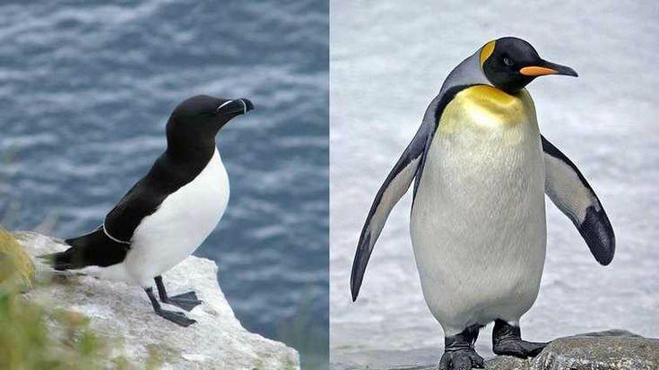 manchot p le sud antarctique pingouins p le nord arctique. Black Bedroom Furniture Sets. Home Design Ideas