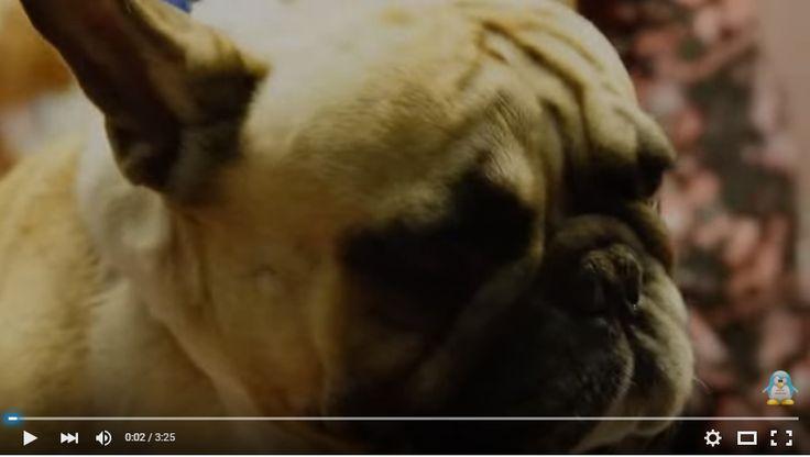 Как и любая собака, французский бульдог нуждается в постоянном уходе. Мытье, стрижка ногтей обязательные процедуры, для содержания собаки в прекрасной форме. Небольшое видео по этой теме. http://www.youtube.com/watch?v=FhiwF1HDAi0