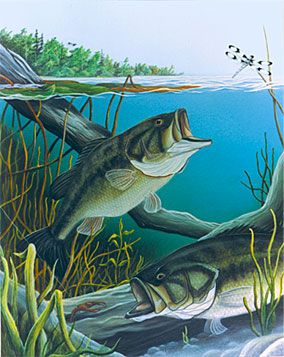 "Largemouth Bass Painting  by Dan Waltz  Signed Print only...$24.95  (11"" x 14"" Image)  Original Available."