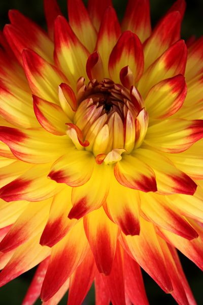 Dalia looks like fire pretty flowers pinterest for Flowers that look like dahlias