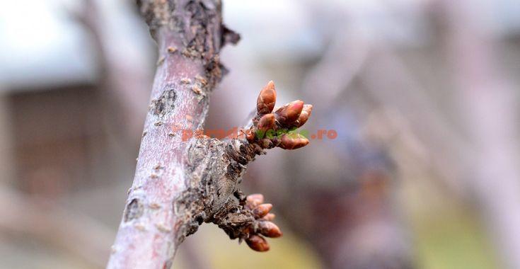 Cireș în fenofaza repaus vegetativ