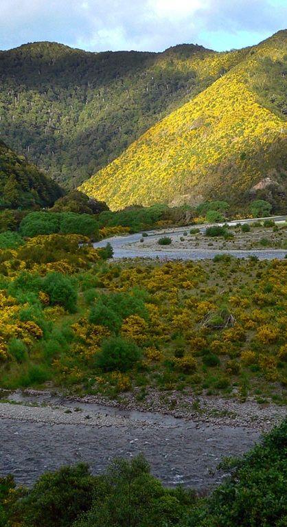 94 best nz native plants  trees  flowers  images on pinterest
