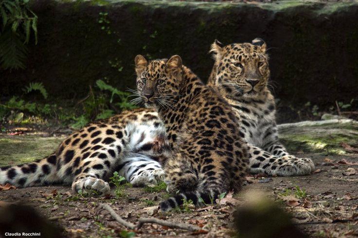 Novara, i cuccioli di leopardo Amur un anno dopo: si prepara il reinserimento in natura