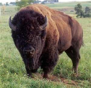 I have a weird obsession with buffalo...blame it on my kansas roots!